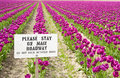 Tulips and sign purple in skagit valley Stock Image