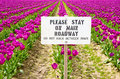 Tulips and sign purple in skagit valley Stock Images