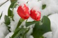 Tulips in the snow two red tulip on background of Royalty Free Stock Photos