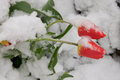 Tulips in the snow two red tulip on background of Stock Images