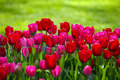 Tulips in spring the blooming red tulip the Stock Image