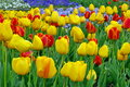 Background with spring flowers. Blooming colored tulips Royalty Free Stock Photo