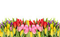 Tulips spring flowers with water drops on white background Stock Images