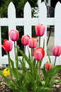 Tulips in spring garden Stock Images