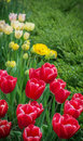 Tulips spring greeting from the garden Stock Photography