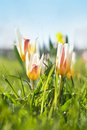 Tulips spring in a sunlight Royalty Free Stock Images