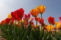 Tulips in springtime fileld blue sky Royalty Free Stock Photo