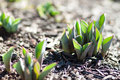 Tulips sprouting from the ground Royalty Free Stock Photos