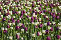 Tulips in sunlight a lot of white and ruby Royalty Free Stock Photo