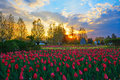The tulips of sunset glow image taken in china s heilongjiang province daqing city oil paradise scenery spot Stock Photography