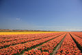 Tulips in various colors on a field Stock Photography