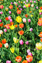 Tulips of various colors intensive cultivation multicolored Stock Photography