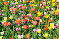 Tulips of various colors intensive cultivation multicolored Royalty Free Stock Photo