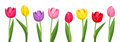 Tulips of various colors isolated on a white background Stock Photos