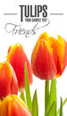 Tulips on the white background isolated text Stock Image