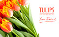 Tulips on the white background red solated text Stock Images