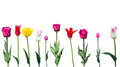 Tulips on a white background Royalty Free Stock Photo