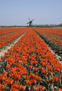 Tulips and windmill 3 Stock Images
