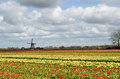 Tulips and a windmill in holland colorful fields of under cloudy sky Stock Photos