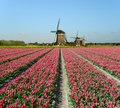 Tulips and windmills in holland field of red Royalty Free Stock Photos