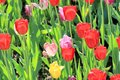 Scarlet, pink and yellow tulips in a beautiful spring on a fun lawn Royalty Free Stock Photo