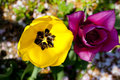 Tulips yellow and purple in the spring Royalty Free Stock Photos