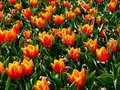 Tulips yellow red colors of from the botanical garden in lodz Royalty Free Stock Photos
