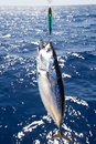 Tuna Mediterranean big game fishing Royalty Free Stock Photo