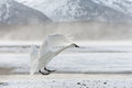 Tundra swan Royalty Free Stock Photo