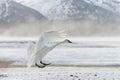 Tundra swan Royalty Free Stock Photo