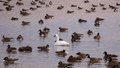 Tundra Swan with Canada Geese