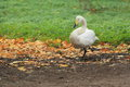 Tundra swan the strolling on the soil Stock Images