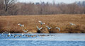Tundra Swans and Canadian Geese Stock Photos