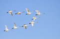 Tundra swans in flight flying formation on a clear winter day Stock Image