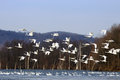 Tundra swans flying from lake a flock of fly over a with swimming in the water Stock Photo
