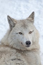 Tundra wolf Royalty Free Stock Photo