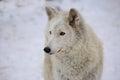 Tundra wolf Royalty Free Stock Photo