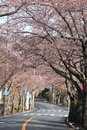 Tunnel of cherry blossom in Izu highland Royalty Free Stock Photo