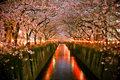 Tunnel Of Cherry Blossom (Saku...