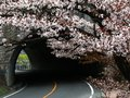 Tunnel with cherry blossom in spring. Royalty Free Stock Photo
