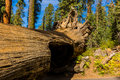 Tunnel Log, Giant Forest, California USA Royalty Free Stock Photo