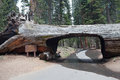 Tunnel log sequoia park california usa Stock Image