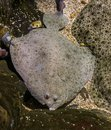 Turbot laying next to some other turbots, popular flatfish, Near threatened animal specie Royalty Free Stock Photo