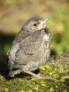 Turdus Bird