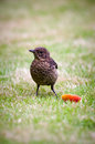 Turdus merula -Blackbird-Young Blackbird Royalty Free Stock Photo
