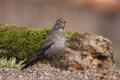 Turdus merula in its natural environment Stock Photo