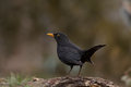 Turdus merula into the natural environment Royalty Free Stock Image
