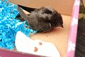 Turdus merula small blackbird in a cardboard box rescued blackbird Stock Photography