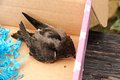 Turdus merula small blackbird in a cardboard box rescued blackbird Royalty Free Stock Image