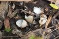 Turdus pilaris, Fieldfare. devastation Royalty Free Stock Photo
